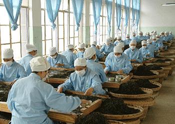 中吉号茶叶制作过程