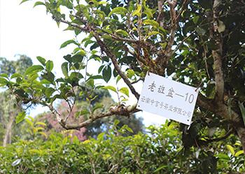 中吉号茶园基地(三)